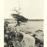 Cape Arundel cedar tree